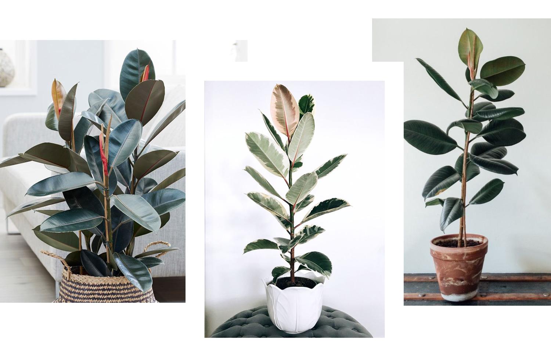 Le Ficus elastica